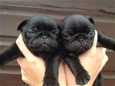 pug puppies for sale in wyoming charming and playful pug puppies for adoption animals evanston wyoming