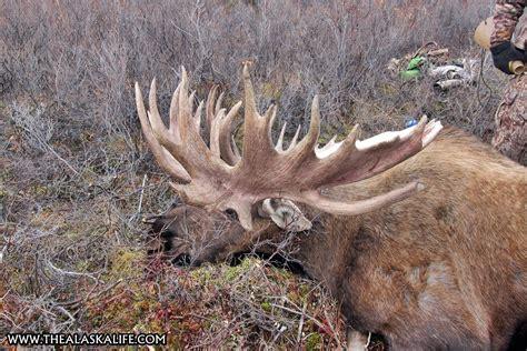 Record Moose Rack by A Record Breaking Alaskan Bull Moose Harvesting A
