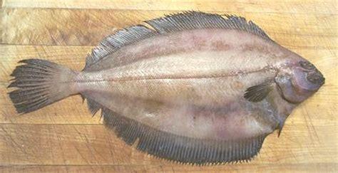 flounder family