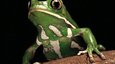 imagenes d ranas alegres reportajes y fotograf 237 as de ranas en national geographic