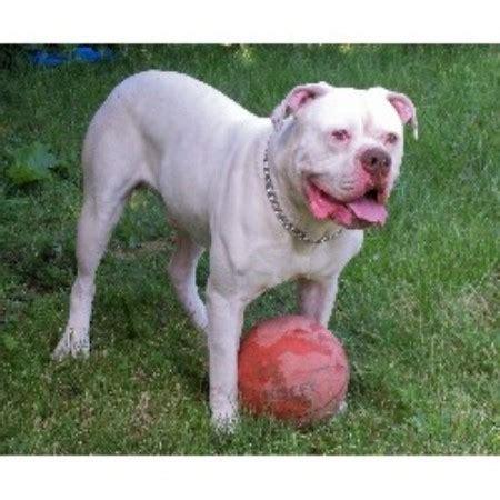 american bulldog puppies for sale in michigan american bulldog american bulldog breeder in detroit michigan listing id 12376