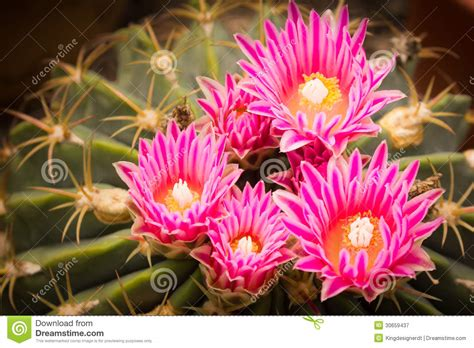The Bright Flower Of Cactus Royalty Free Stock Photography   Image: 30659437