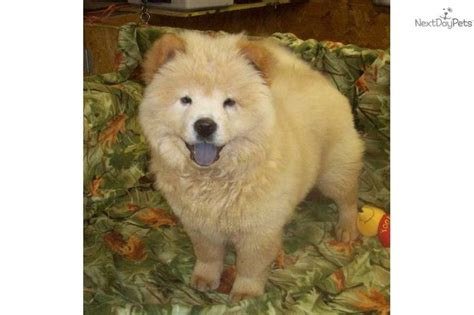 chow chow puppies for sale in pa the 25 best chow puppies for sale ideas on image for puppy chow dollies