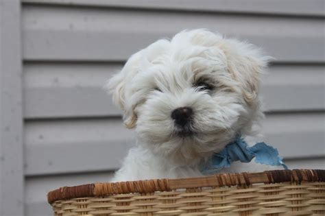 shih tzu bichon puppies for sale in maryland bichon shih tzu puppies for sale in shippensburg pennsylvania http www network34