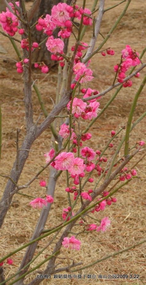 plum tree flower pink perfection pinterest