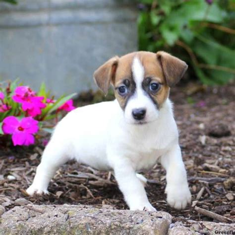 greenfield puppies for sale terrier puppies for sale greenfield puppies