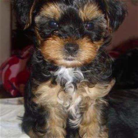 shih tzu mixed with yorkie terrier terrier shih tzu mix