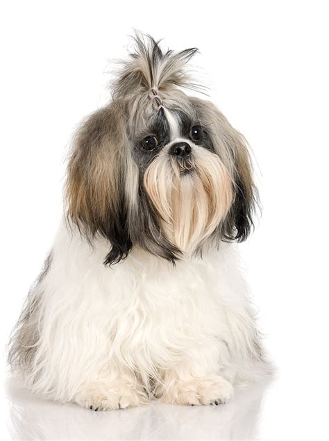 breed review shih tzu argos pet insurance