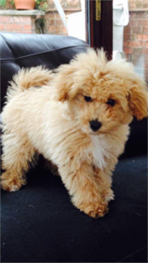 poochon haircuts bich poo also known as poochon bichpoo bichon poodle