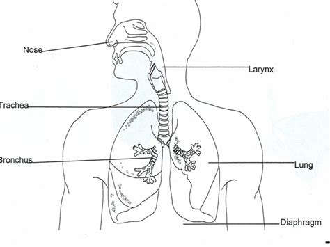 how to draw a system diagram respiratory system hd drawing human anatomy system