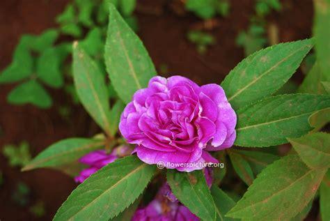 Sale White Camellia Impatiens flowers by name i impatiens balsamina ipomoea purpurea pink impatiens wallerianapurple impatiens
