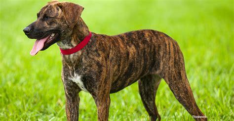 plott puppies the plott hound