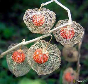 Chinese Lantern Flower Chinese Lantern Flowers Dream Garden For Our House Pinterest Bags Birds And Paper Bags