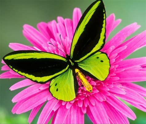 gambar kupu kupu cantik terbaru kumpulan gambar