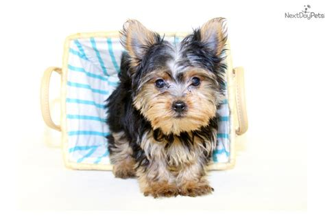 yorkies for sale in ohio teacup terrier puppies for sale in ohio picture breeds picture