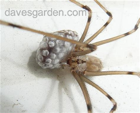 bug pictures daddy long legs pholcus phalangioides