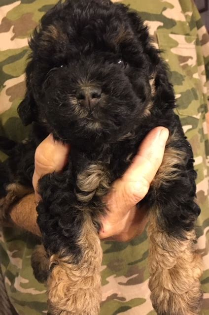 labradoodle puppies for sale in sc danmar labradoodles labradoodle puppies for sale in sc autos post