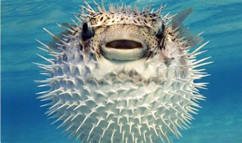 puffer fish family dinner of deadly pufferfish leaves 11 paralysed and fighting for their lives