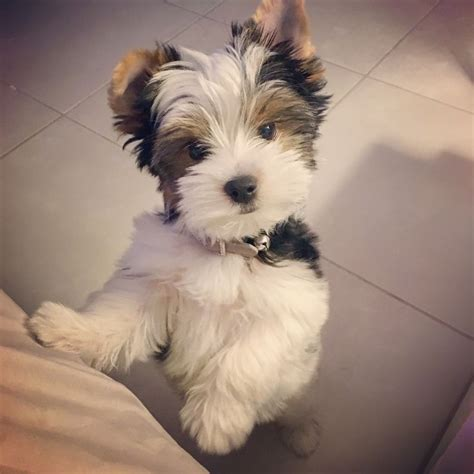 my yorkie puppy 25 best ideas about terrier puppies on puppies