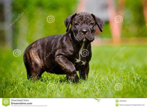 corso brindle puppy brindle corso puppy walking outdoors stock photo image 43569055