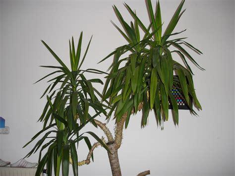 yucca palme schlafzimmer yuccapalme probleme mit den bl 228 ttern