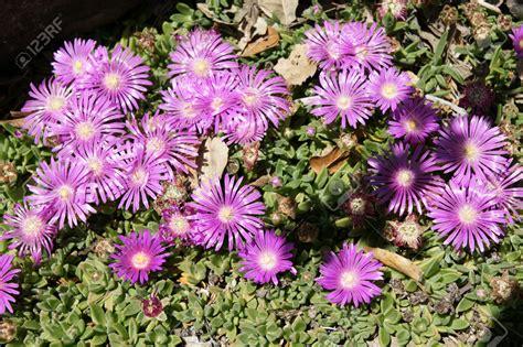 Fleur Violette by Fleurs Violettes Vivaces La Pilounette
