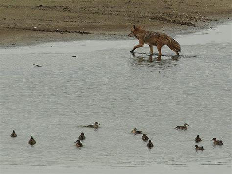 best 28 coyote vcdb dfw wildlife coyote normandy