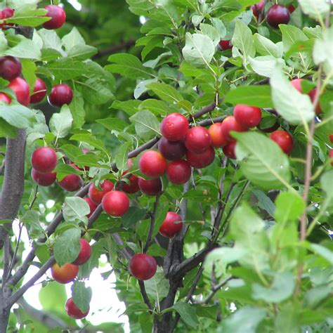 prunus cerasifera cherry plum plants online trees and