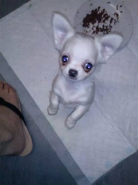 white chihuahua puppies for sale white chihuahua puppies for sale pedigree barnsley south pets4homes