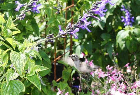 perennial flowers that attract hummingbirds and