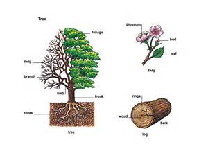 define tree tree noun definition pictures pronunciation and usage