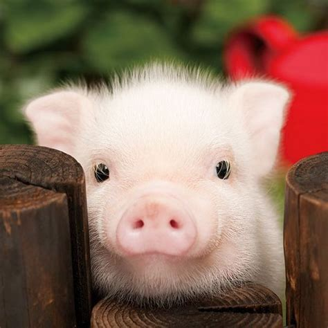 Best 25  Teacup piglets ideas on Pinterest   Baby piglets