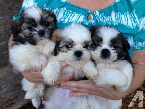 shih tzu breeders carolina shih tzu puppies for sale in pendleton south carolina classified americanlisted