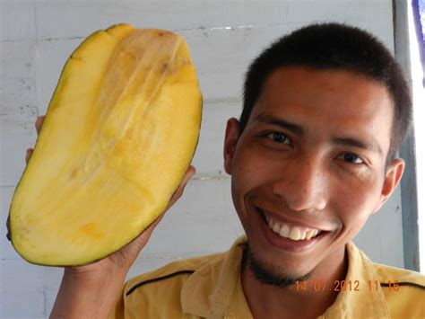 Paket 3 Bibit Buah Mangga Manalagi Okulasi Cepat Berbuah mangga mahatir bibit tanaman buah
