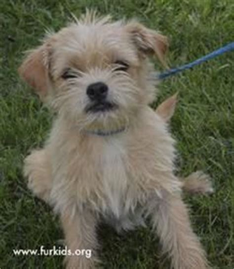 rat terrier shih tzu mix 1000 images about want to adopt a puppy on shih tzu adoption and