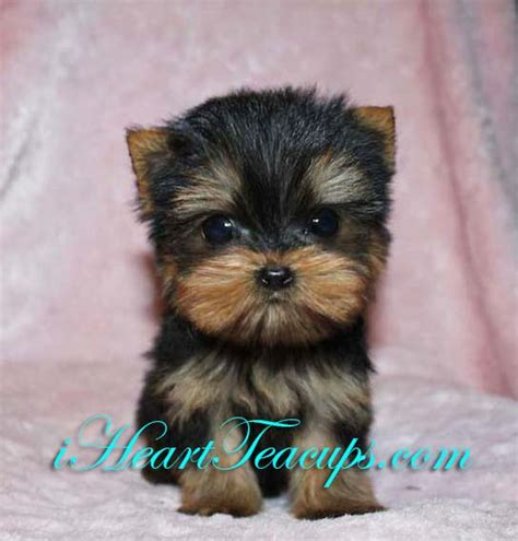 how much do purebred yorkies cost micro teacup morkie yorkie maltese puppy 2lbs grown breeds picture
