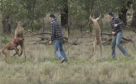 punches kangaroo to save punches kangaroo in australia to save his canada journal news of