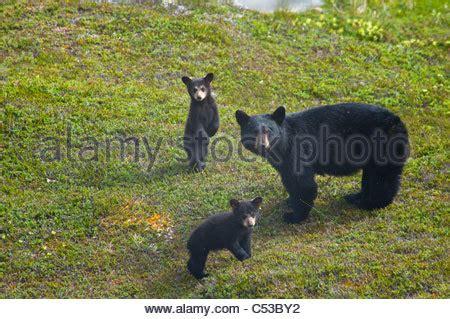 the black of pennsylvania ursus americanus classic reprint books black cubs ursus americanus play