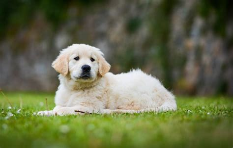 golden retriever screensaver wallpaper bokeh golden retriever puppy golden retriever images for desktop