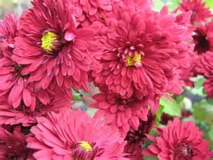 Chrysanthemum by Chrysanthemum Flower Wallpaper Latest Hd Wallpapers