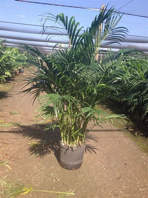 cateracterum palm tim griffin enterprises inc plantant com