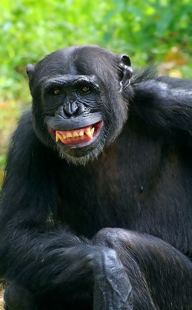 laughing monkey stock  pictures royalty  images istock