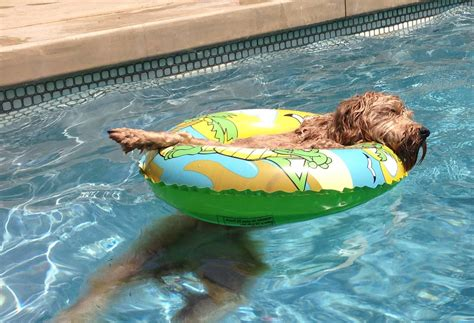 doodle swimming mini goldendoodle monthly of lamgo farms