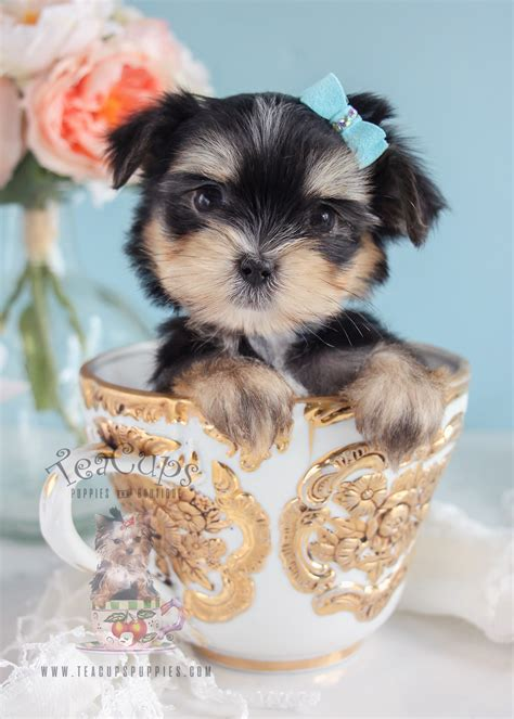 boutique puppies designer breed puppies for sale south florida teacups puppies boutique
