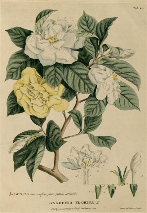 tattoo gardenia flower gardenia jpg tattoo designs pinterest