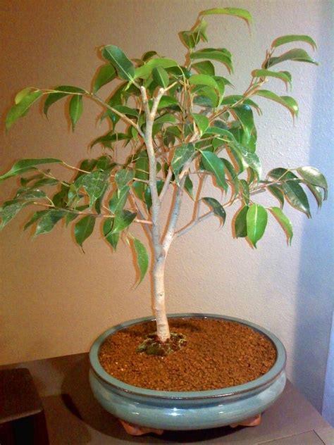 Potatura Ficus Benjamin potatura ficus benjamin ficus