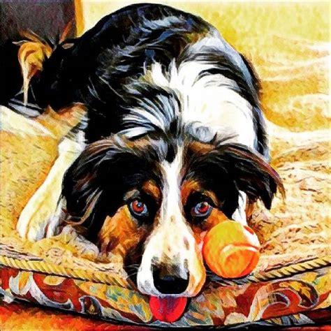 havanese rescue san antonio lost border collie in san antonio tx lost my doggie