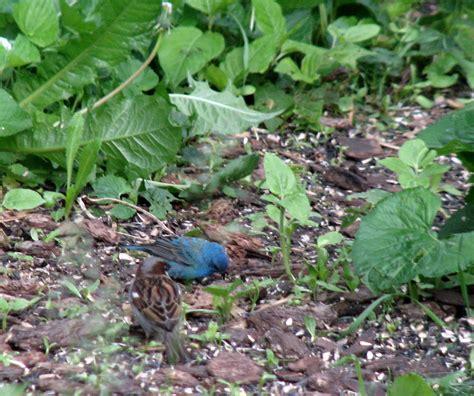 indigo bunting bird feeders