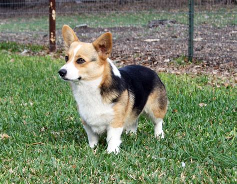 corgi puppies for sale san antonio puppies for sale breeds picture