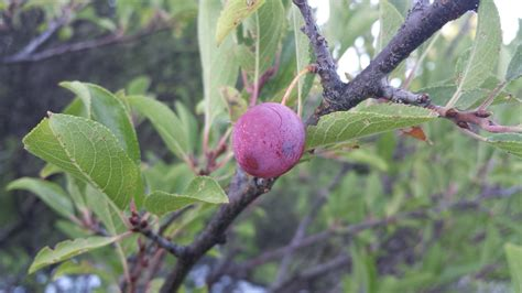 purple leaf trees identification identification need some help identifying a plum tree gardening landscaping stack exchange